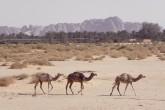 Saudi Arabia Camels