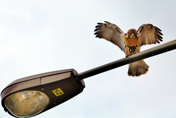 Hawks in the City
