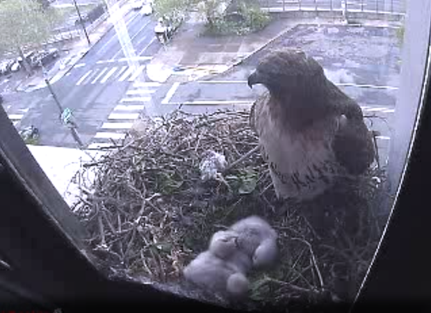 Hawks in the nest May 2013